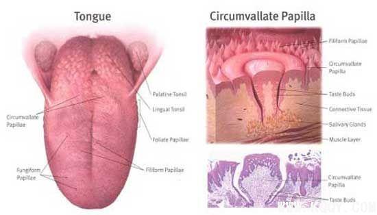 舌乳头解剖图(英文)-解剖生理-口腔前沿网