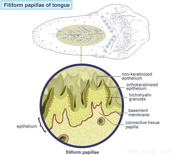 人的舌头有几种形状图-舌菌状乳头示意图