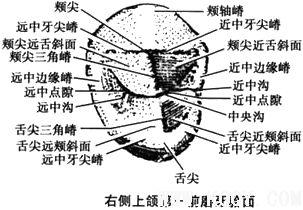 上颌第一前磨牙解剖形态详解