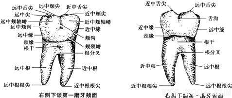右侧下颌第一磨牙示意图