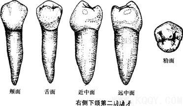 右侧下颌第二前磨牙示意图
