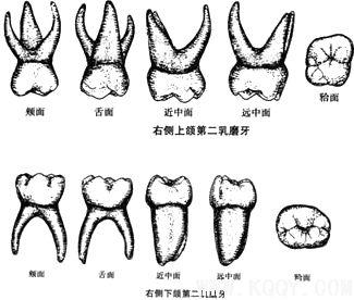 上颌第二乳磨牙