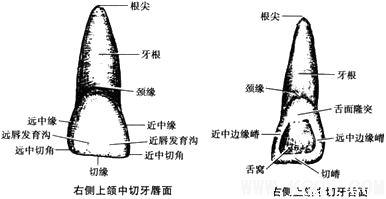 上颌中切牙解剖形态详解