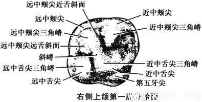 上颌第一磨牙解剖形态详解