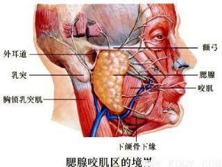 腮腺咬肌区境界