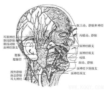 眼动脉解剖图谱