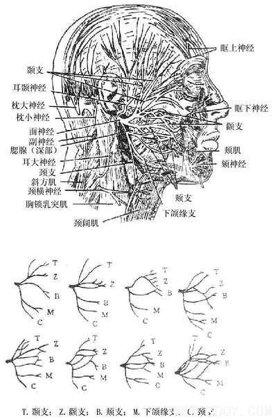 面部的神经——面部浅层解剖