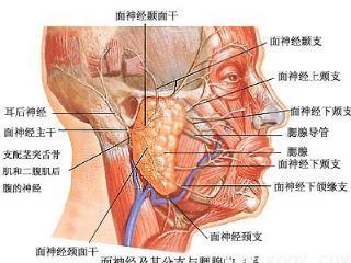 面神经分支及周边血管