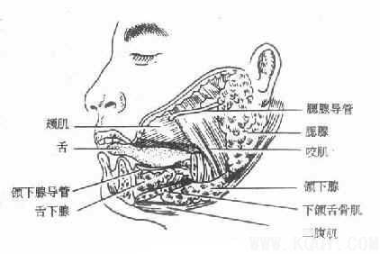 颌面部解剖——涎腺