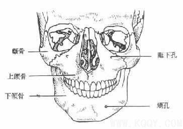 骨骼肌结构手绘图