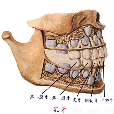 为什么门牙脱落很长时间都不长新牙(恒牙)