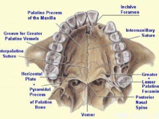 硬腭解剖图(英文)